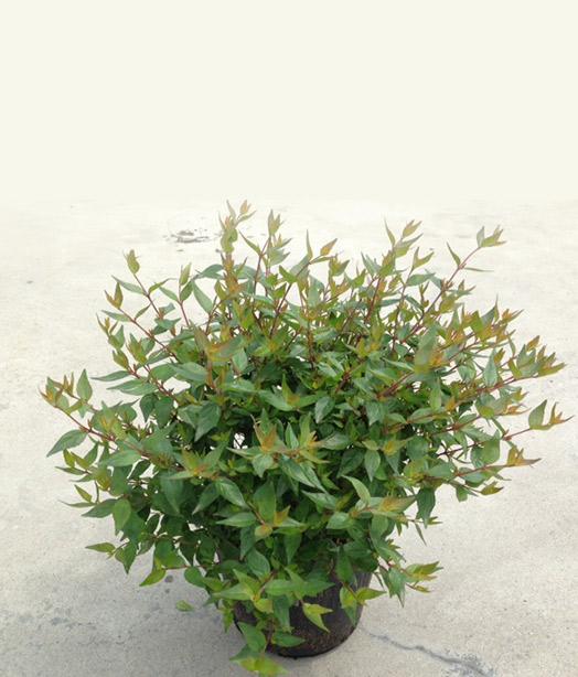 Abelia-grandiflora-nana
