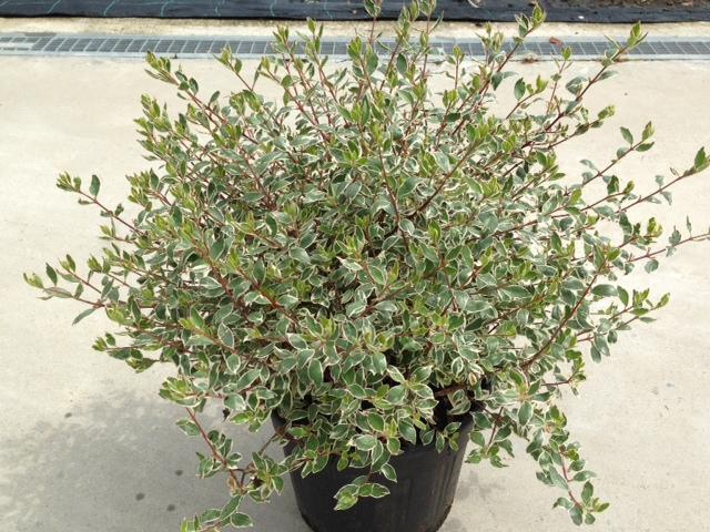 Abelia variegata
