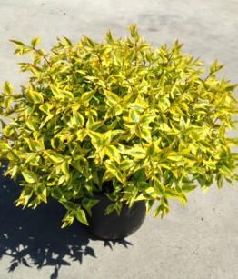 Abelia x grandiflora  kaleidoskope v.23