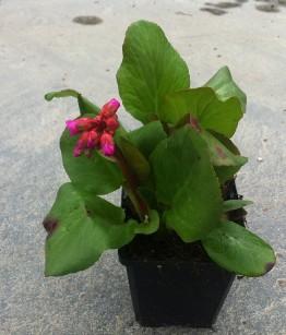 Bergenia cordifolia v9x9