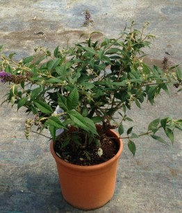 Buddleja davidii Blue Chips v.22
