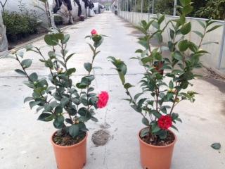Camellia japonica v.20
