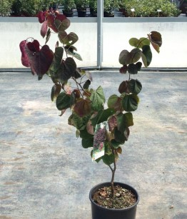 Cercis canadensis forest pansy v.24