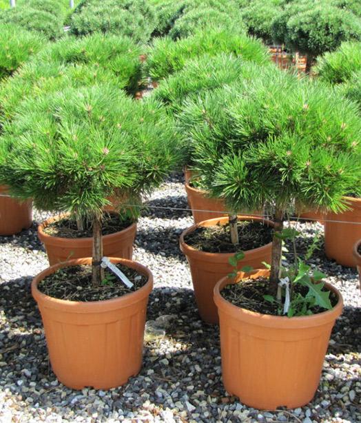 Conifere-in-varieta