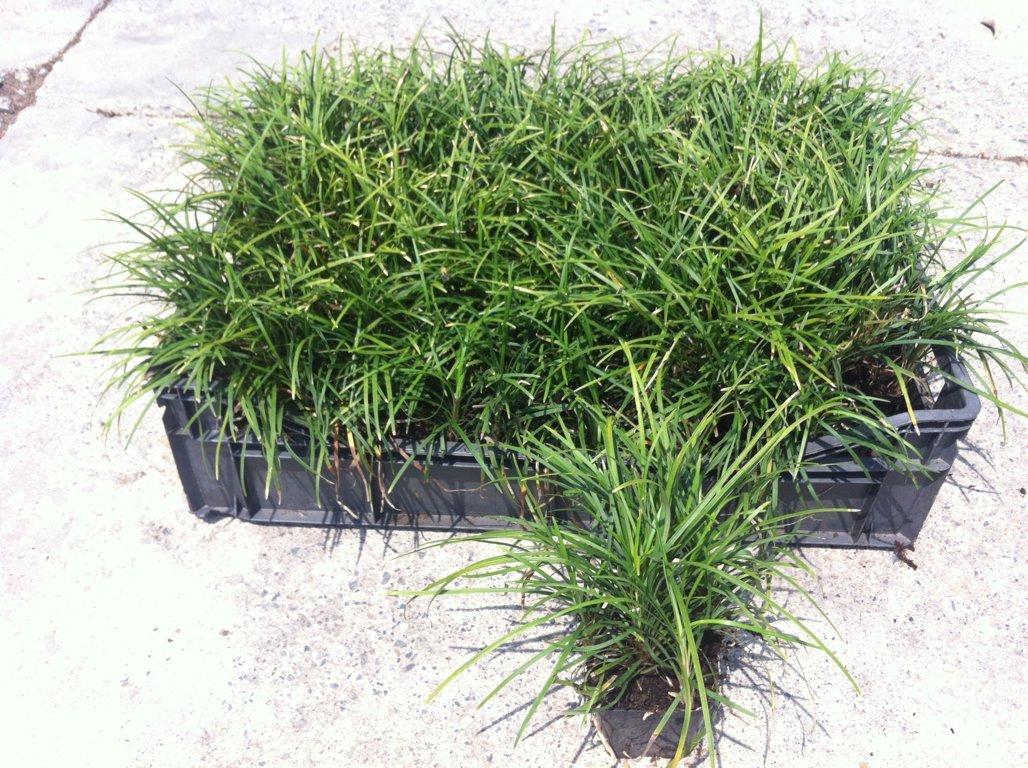 Convallaria japonica v7X7