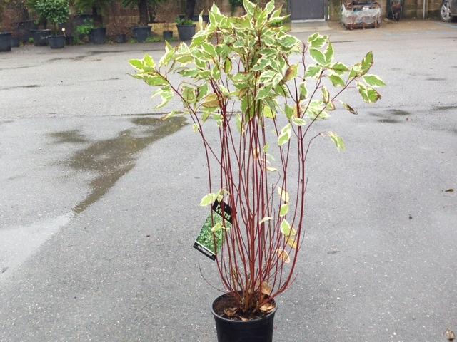 Cornus alba elegantissima v.23
