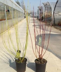 Cornus alba in varietà