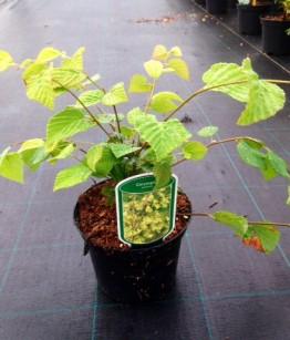 Corylopsis pauciflora c2
