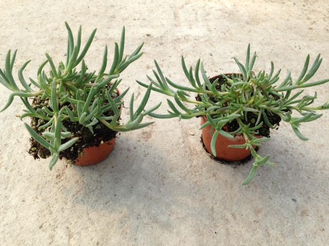 Delospema cooperi - mesembriantemum v10