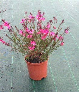 Gaura Lollipop Pink v16