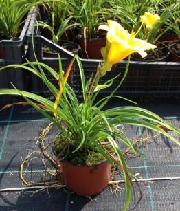 Hemerocallis stella d'oro v12