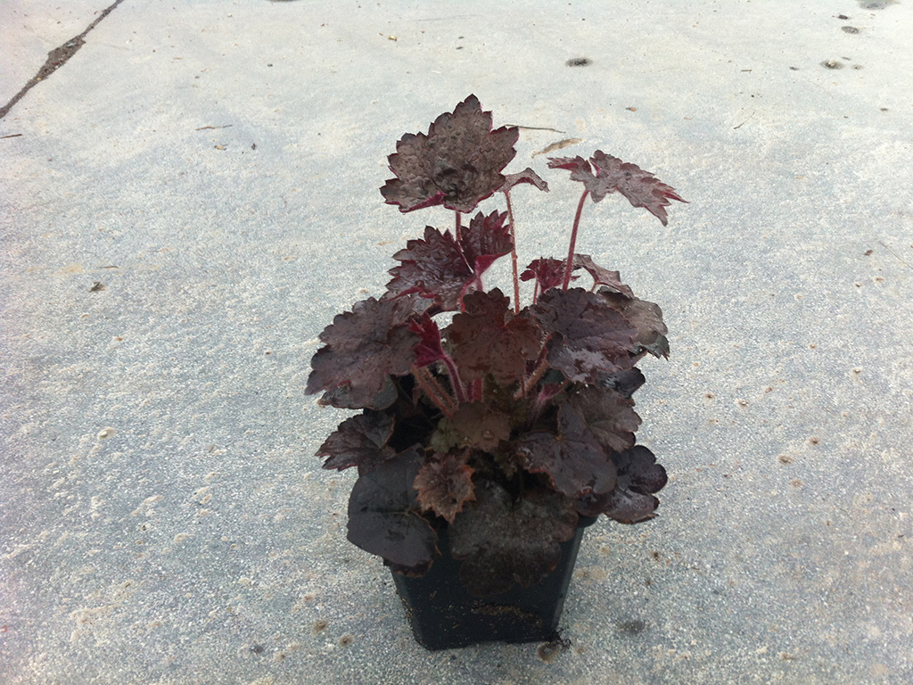Heuchera micrantha palace purple v9x9