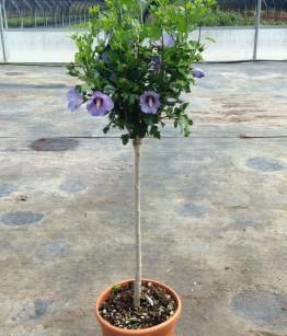 Hibiscus syriacus alberetto v22