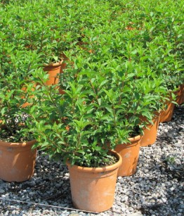 Hydrangea in varietà v22-24 (1)