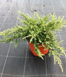 Juniperus communis repanda v18