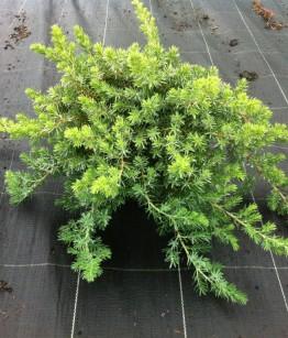 Juniperus conferta Blue Pacific v18