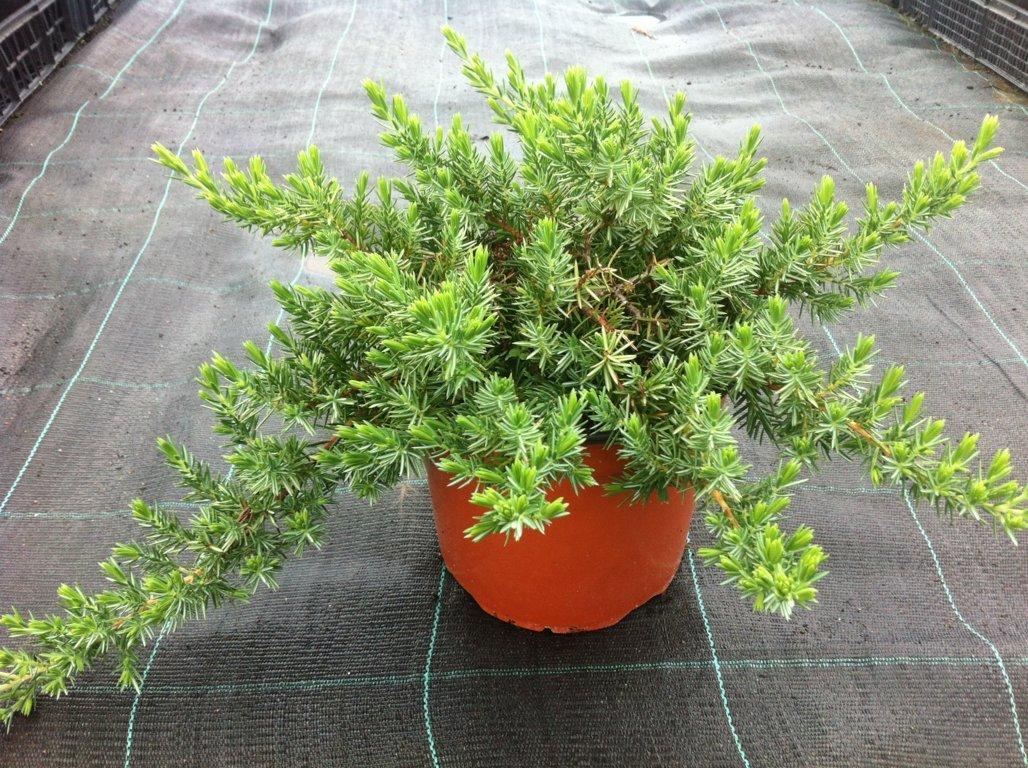 Juniperus conferta  Schlager v18