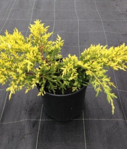 Juniperus x pfitzeriana gold star v18