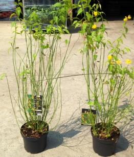 Kerria japonica pleniflora c5