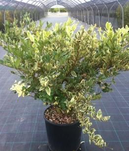 Ligustrum texanum silver star v30