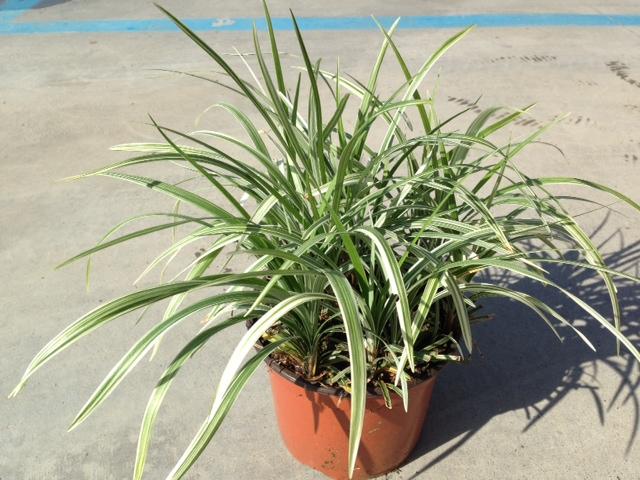 Liriope spicata Silver Dragon v18 2014