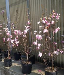 Magnolia stellata rosea - 1