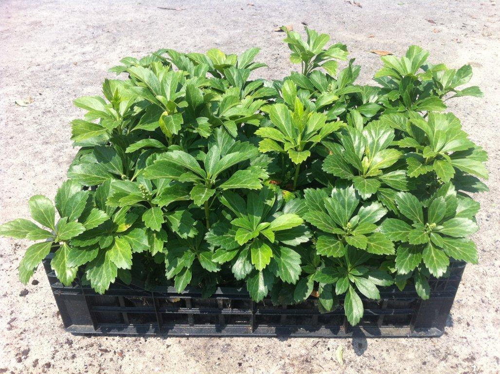 Pachisandra terminalis green carpet  v7X7 (1)
