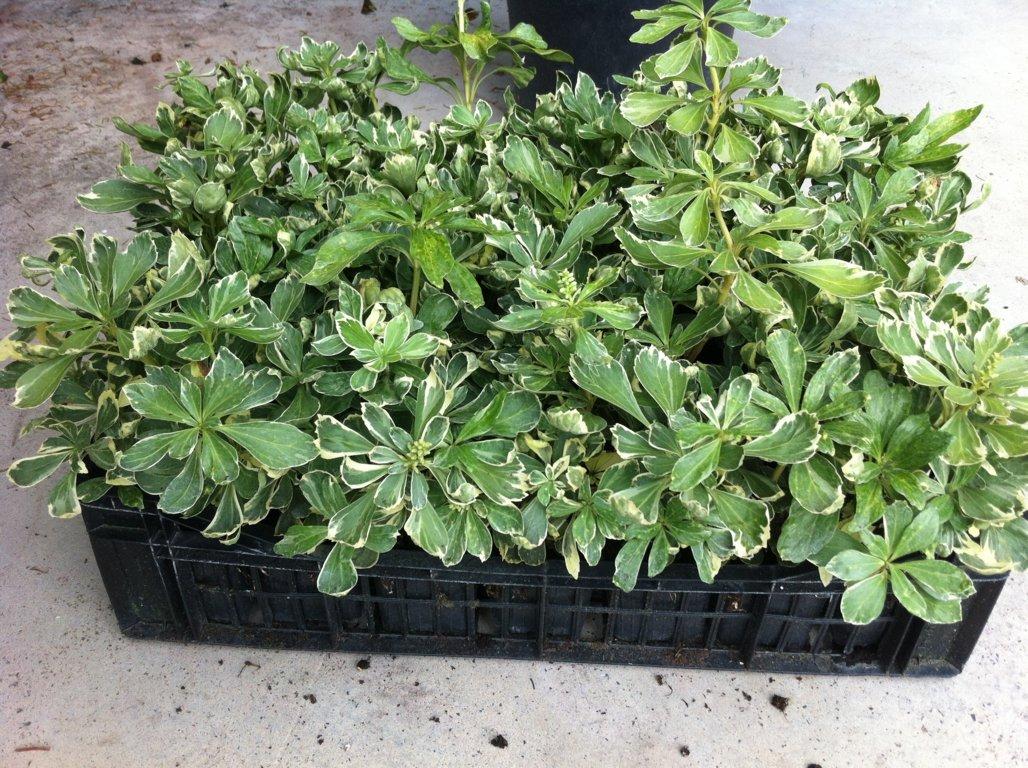 Pachisandra terminalis variegata 7X7