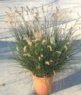 Pennisetum alopecuroides Hameln v22
