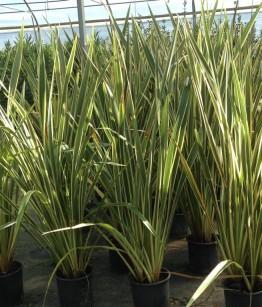 Phormium tenax variegato v24