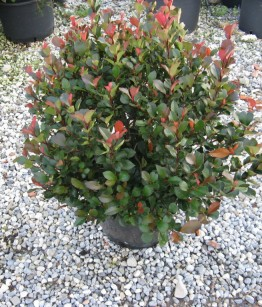 Photinia Little Red Robin v30