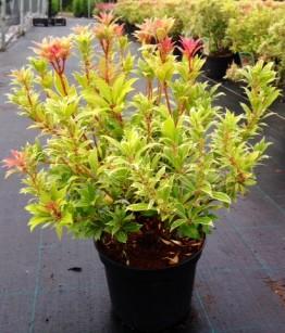 Pieris japonica shiny glory variegato c3