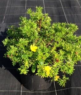 Potentilla fruticosa  goldfinger v18