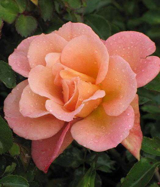 Rosa Cubana