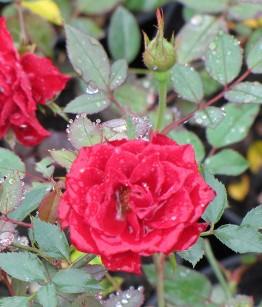 Rosa Dark Red