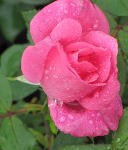 Rosa Pink Knock Out