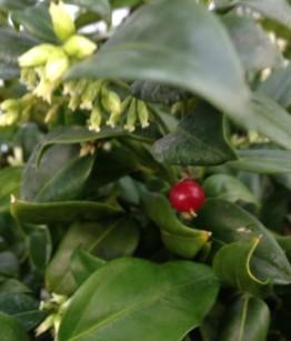 Sarcococca ruscifolia v18