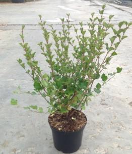 Siringa meyerii palibin v17