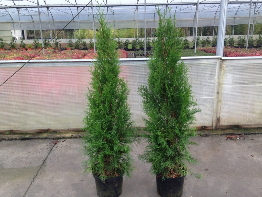 Thuja occidentalis smaragd c4