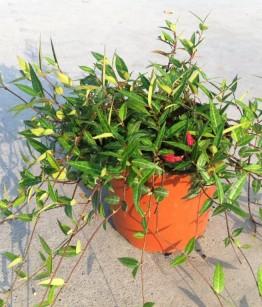 Trachelospermum angustifolia v19