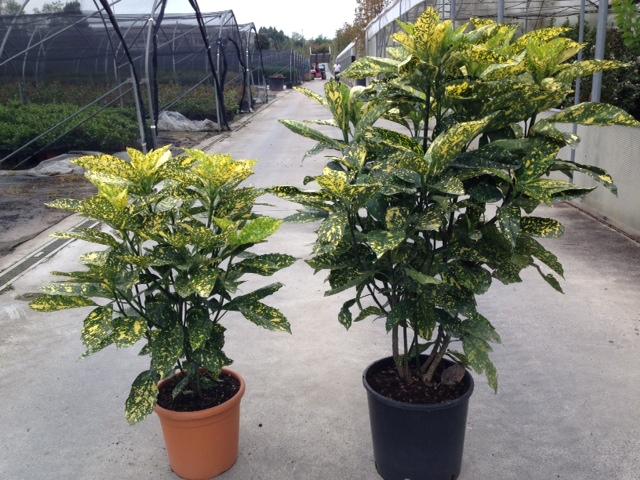 aucuba japonica crotonifolia select v.24-v.28 (1)