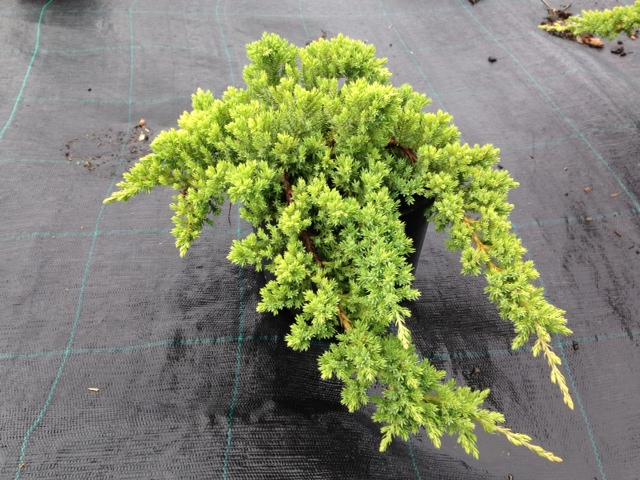 juniperus procumbens nana v18