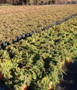 juniperus v18 in coltivazione (1)