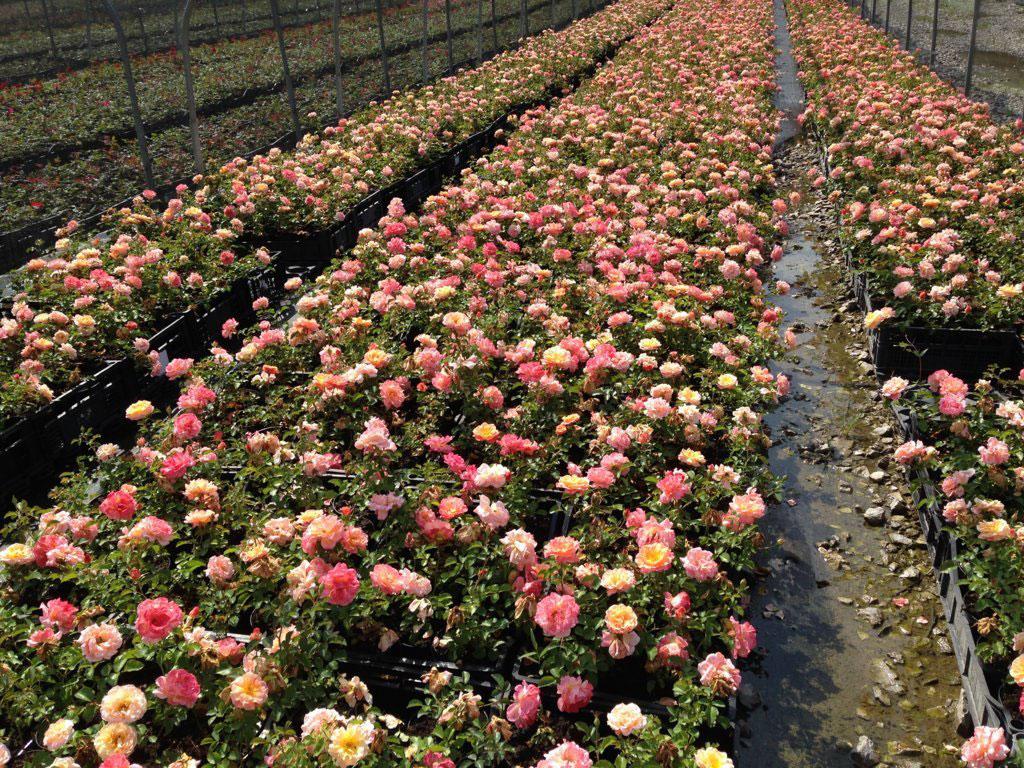 rose tappezzanti in coltivazione parco plant parco plant