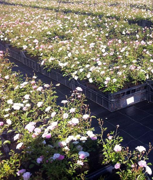 rose-tappezzanti-in-coltivazione