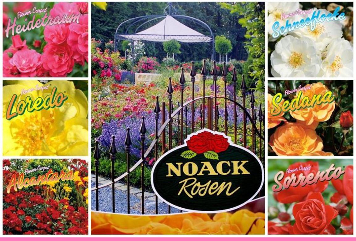 Flower-Carpet-Roack-Rosen-Parco-Plant-01
